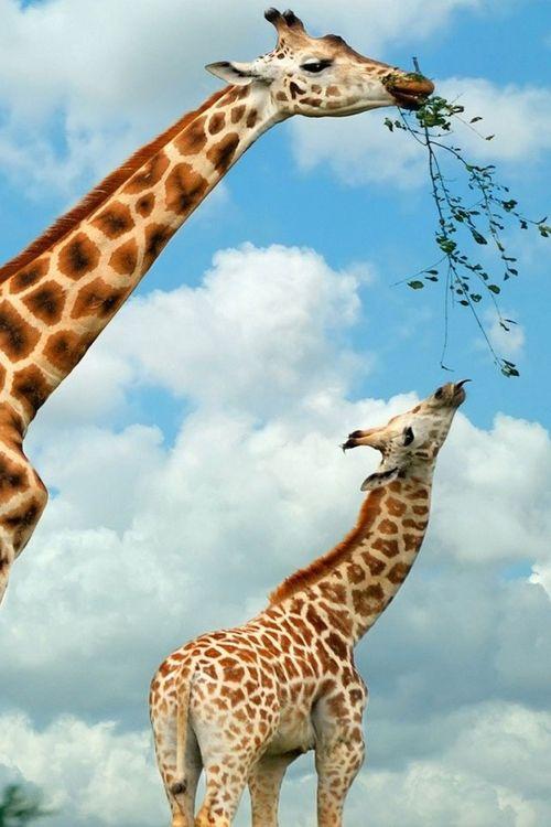 famille girafe