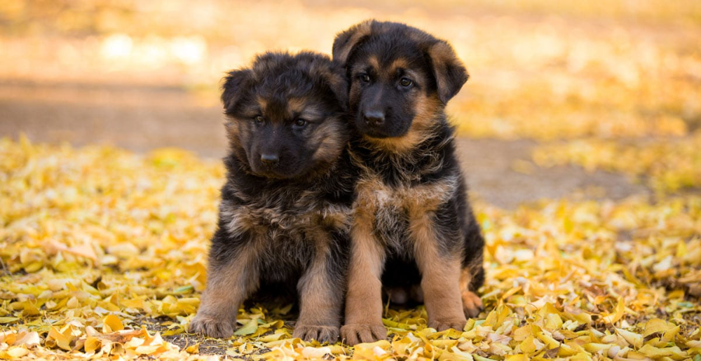 Long Coat Long Haired German Shepherds And Puppies Nadelhaus In 2020 German Shepherd Puppies German Shepherd Puppies White Purebred German Shepherd Puppies