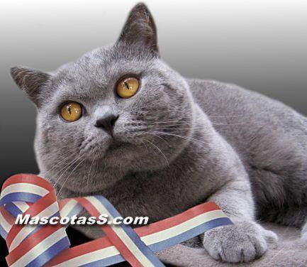 Gato Britanico De Pelo Corto British Shorthair Cat Breeds British Shorthair Cats