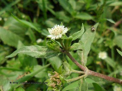 False Daisy ক শর জ ফ ল Eclipta Prostrata Plants Flowers Daisy