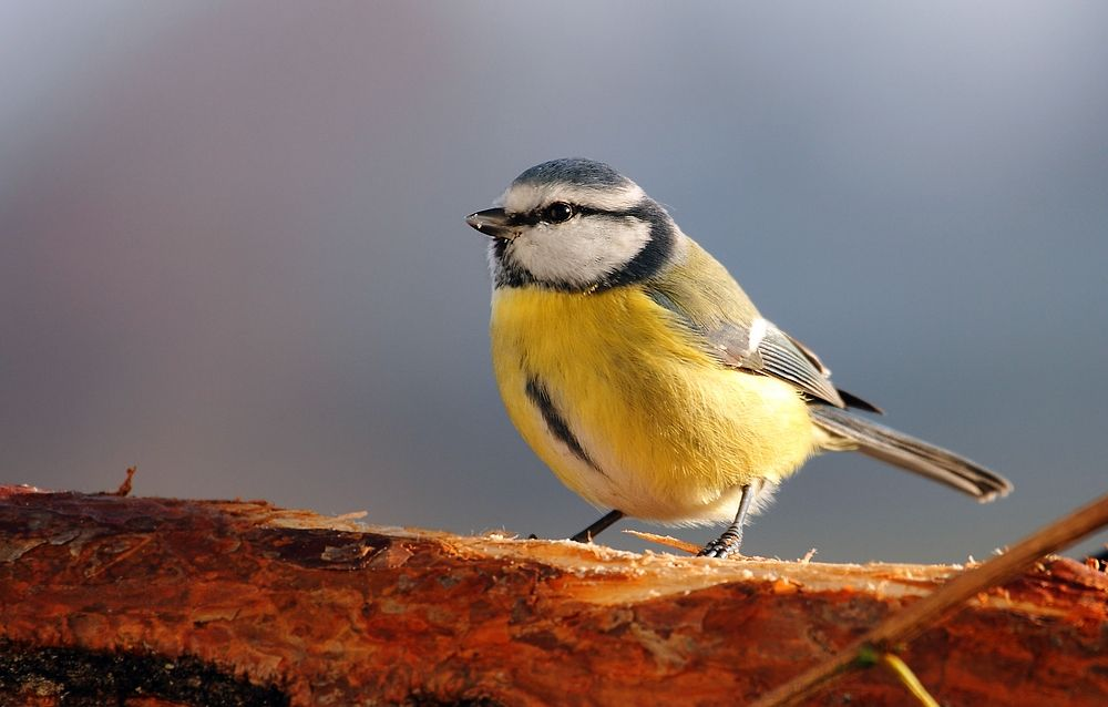 blaumeise birds pinterest blaumeise vogel und kleine v gel. Black Bedroom Furniture Sets. Home Design Ideas
