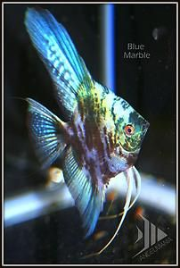 Shop 1st Us World Of Bargains Angel Fish Fish Cool Fish