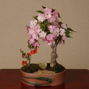 盆栽:桜・長寿梅寄せ(瀬戸焼鉢)