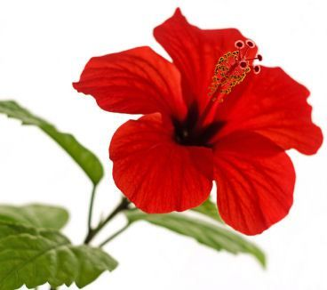 Hibiscus Is One Of My Favourite Tropical Flowers Hibiscus Flowers