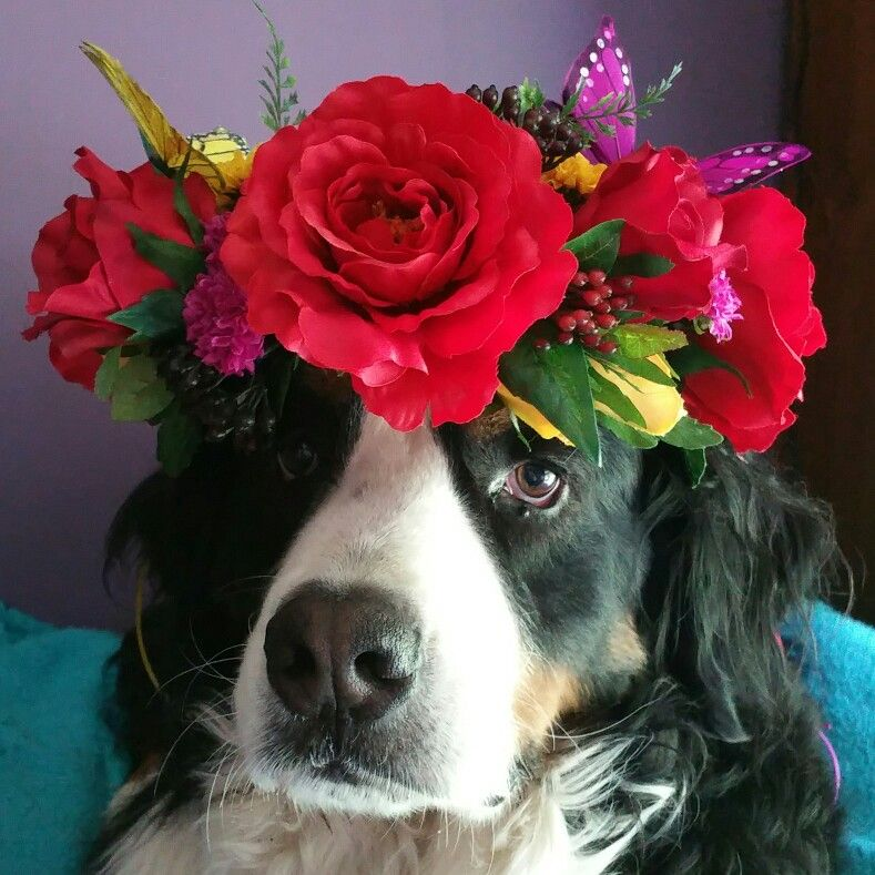 Roses Are Red Faerie Flower Crown By Fiorenchantment Model Huckleberry The Bernese Mountain Dog Flower Crown Dogs Red Roses