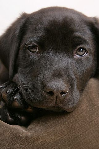 Animals Iphone Wallpaper Idesign Iphone Lab Puppies Dogs And Puppies Labrador Retriever Puppies