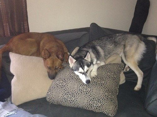 Xena Has Been Missing Since 9 9 2016 Pet Name Xena Breed Siberian