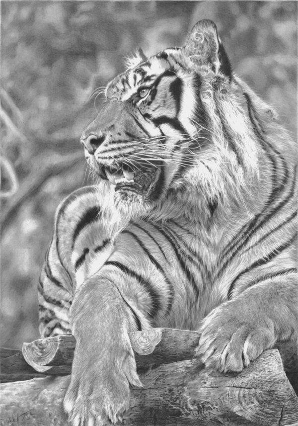 Volwassen Kleurplaten Tijger Pin By Rafael Diel On Drawings Tiger Drawing Animal
