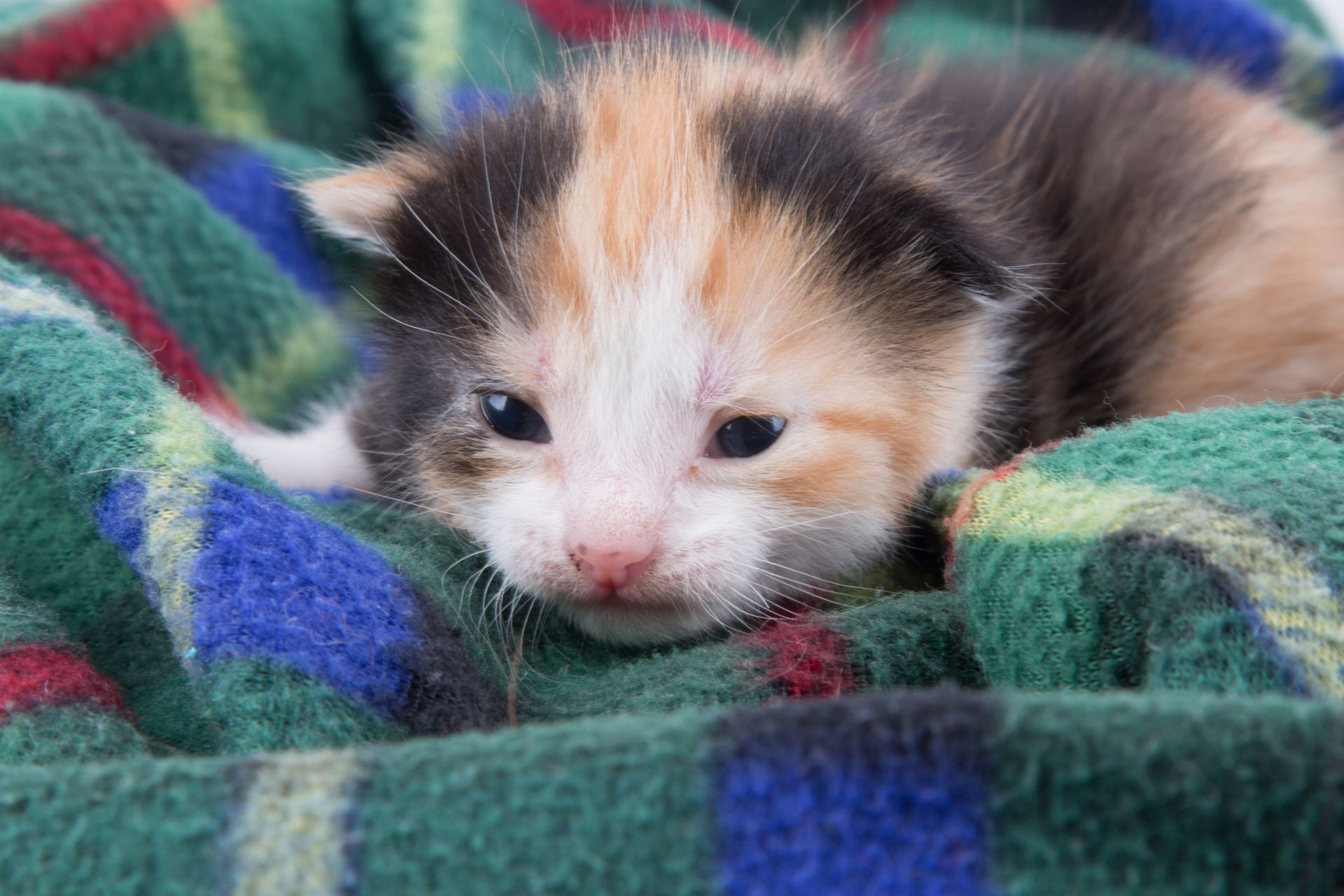 Have A Kitten? You Need To Know The Signs Of Fading Kitten