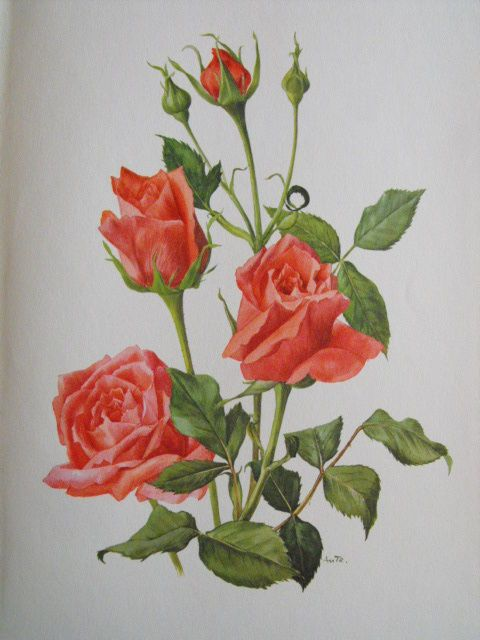 Rose Spartan Roses De Eric Bois A M Treschslin Peintre 1961