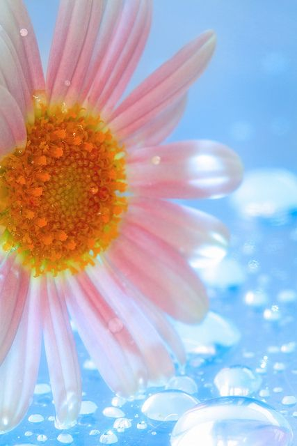 Delicate flower and dew drops   ♥ ♥