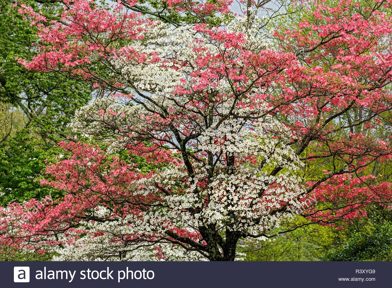 Single Dogwood Tree With Pink And White Blossoms Kentucky Stock Photo Dogwood Trees Dogwood Blossom