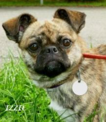Adopt Izzie On Chug Dog Dogs Pug Mix