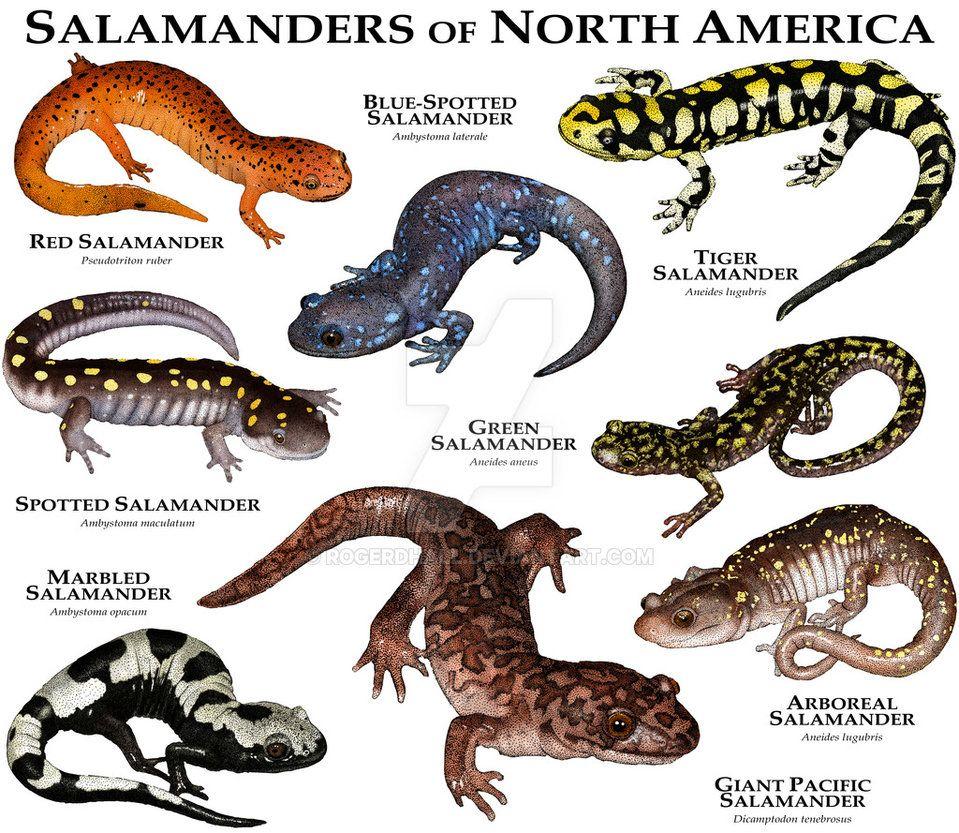 Types North America Salamanders