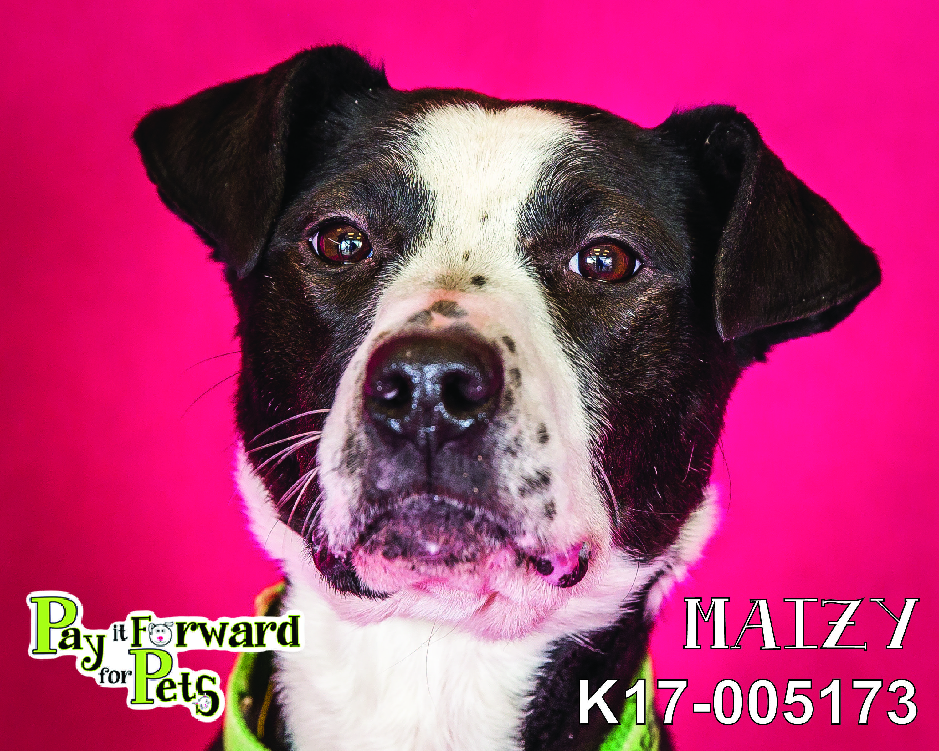 Maizy is an adoptable terrier searching for a forever