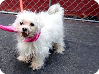 Hartford Ct Next Stop Forever Rescue Maltese Mix Meet Ivory