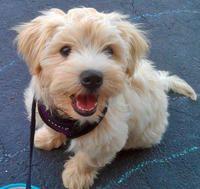 Golden Retriever Yorkie Mix Yorkie Mix Cute Puppy Names Yorkie