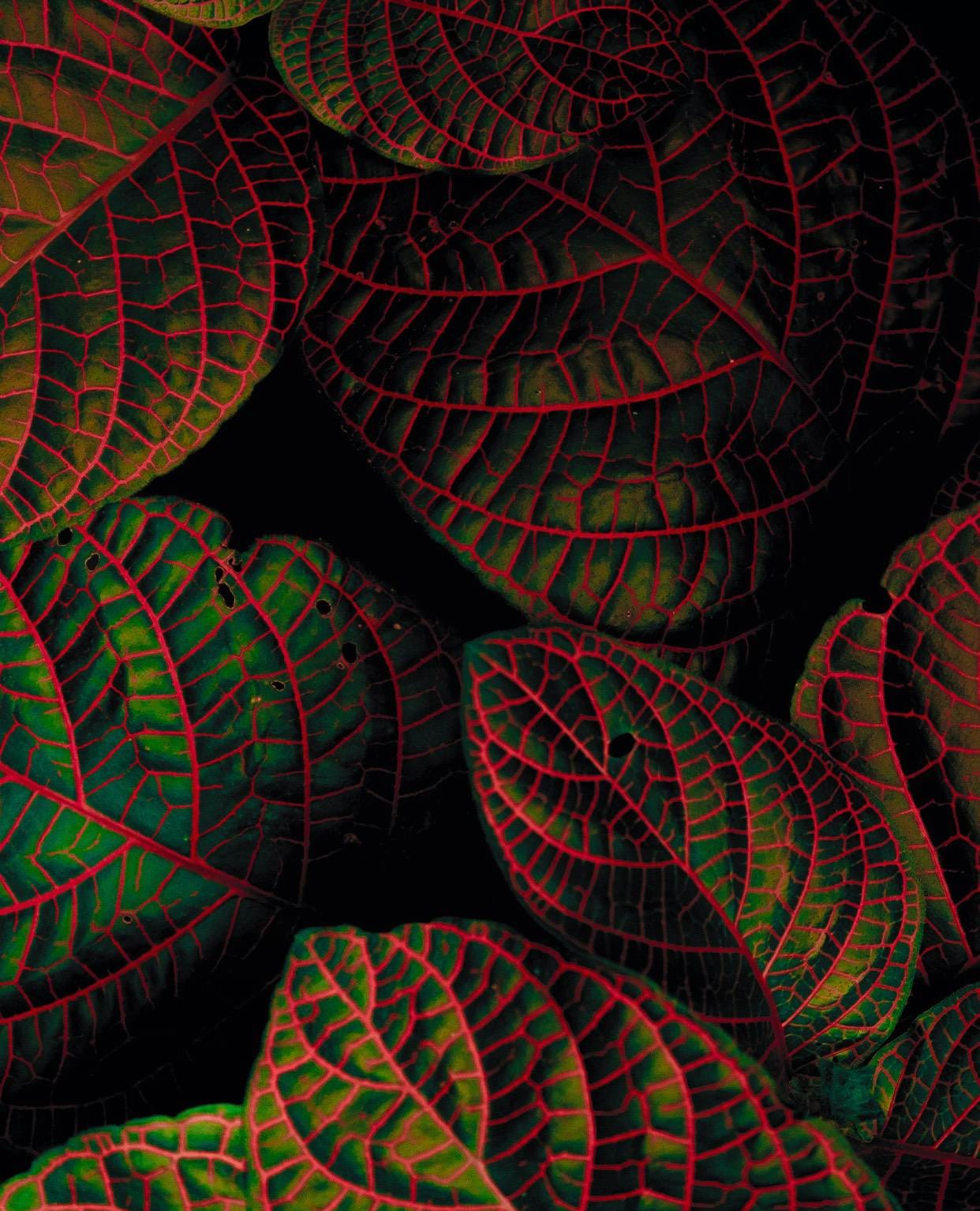 Dracula's favorite plant. Download the Vellum App on iOS