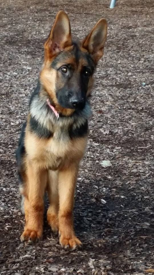 Reward 2 Missing German Shepherds Went Missing On Monday 1130 Am Of Rodcris Drive In Mahopac Ny It S Off Losing A Dog German Shepherd Mix Belgian Malinois