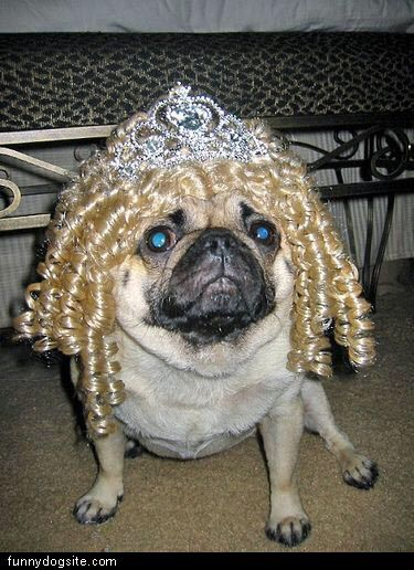 Pug Curls Funny Dog Pictures Cute Pugs Pets