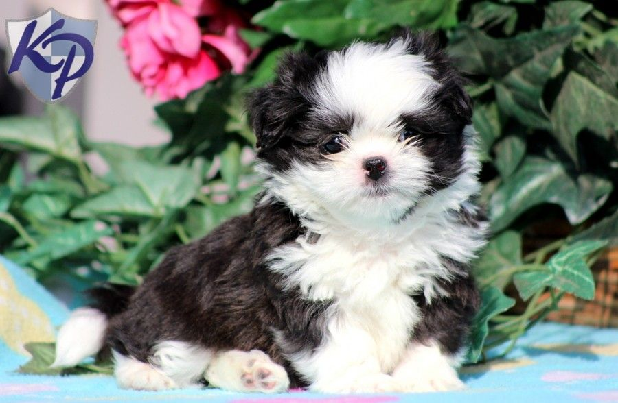 Puppy Finder Find Buy A Dog Today By Using Our Petfinder Shih