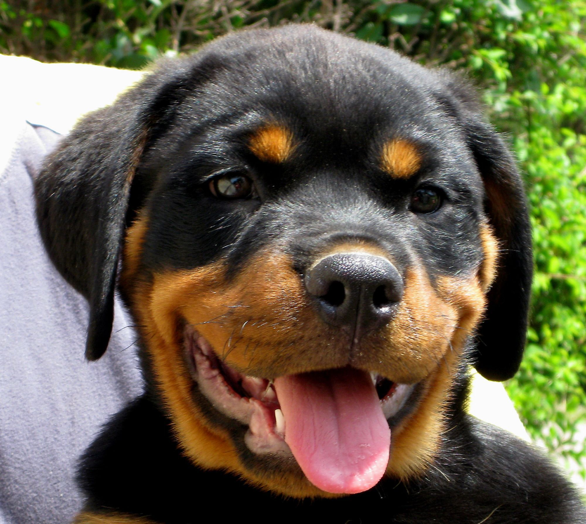 Image Detail For Rottweiler Puppy Face Free Image In Gallery Dogs