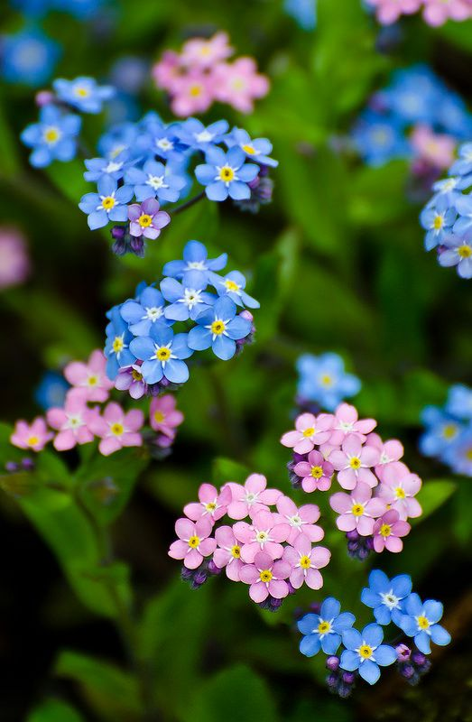 Wood Forget Me Not Myosotis Sylvatica My Own Heaven On Earth