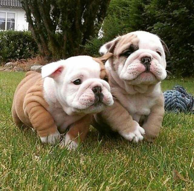 Idea By Mads On Puppies English Bulldog Puppies Puppies