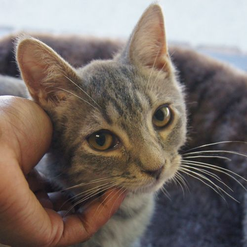 Adopted Benjy Is A 3 Month Old Neutered Male Gray Tiger Domestic Short Hair Kitten Benjy Is A Beautiful Tiger Kitten With A Mellow Personality Www Poainc O