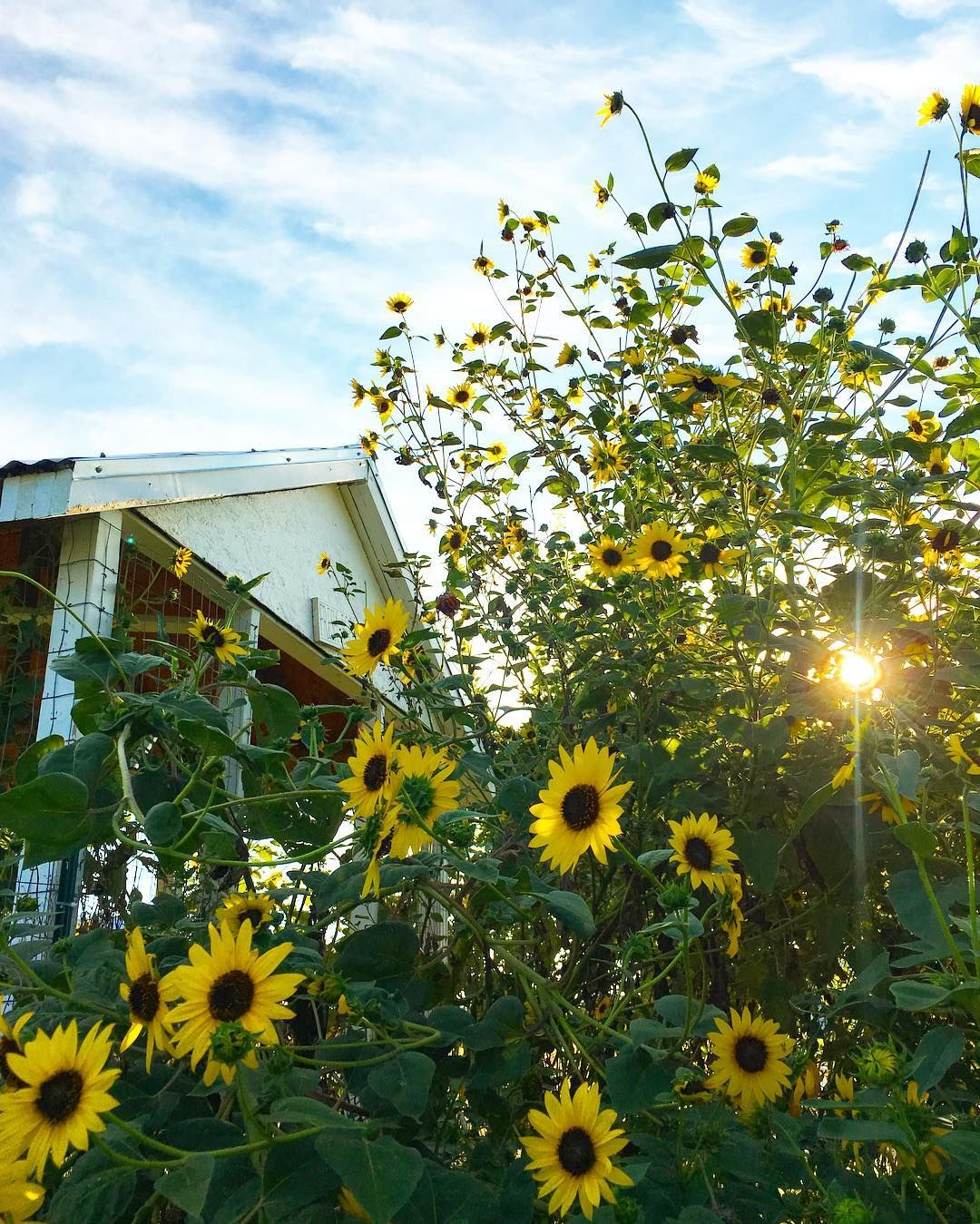 Sunflowers & blue skies🌻🌻🌻🌻🌻