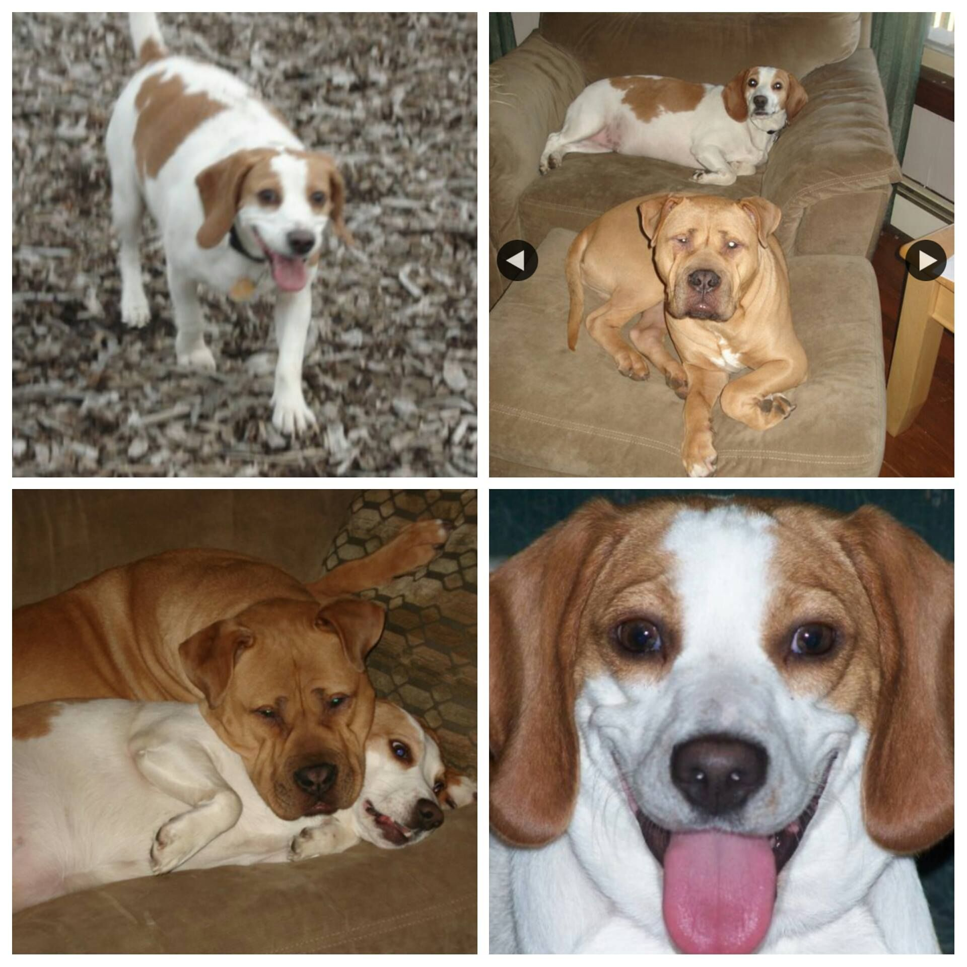 Photos Of Ct Lost Pets Amie Catherine Weekley Losing A Pet Beagle Pets
