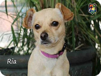 Fort Myers Fl Chihuahua Mixed Breed Medium Mix Meet Patches