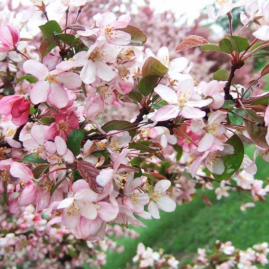 Robinson Crabapple Crabapple Tree Pink Flowering Trees Flowering Crabapple Tree