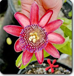 Zone 9 Tropicals Passiflora Phoenicea Alata Ruby Glow Gal Flowering Vines Climbing Flowers Blue Passion Flower