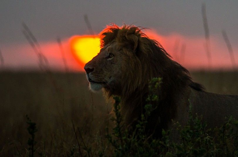 Photographer Paul Goldstein has had countless opportunities to document the   beautiful natural spectacle in Masai Mara, Kenya, thanks to his role as a   guide for Exodus Travels