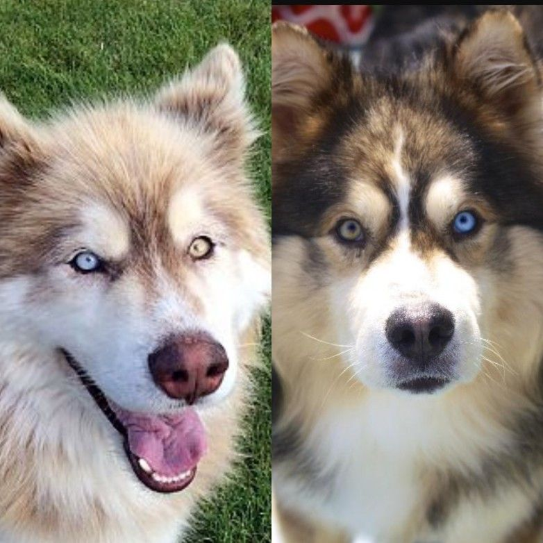 Alaskan malamute and husky mix with different colored eyes