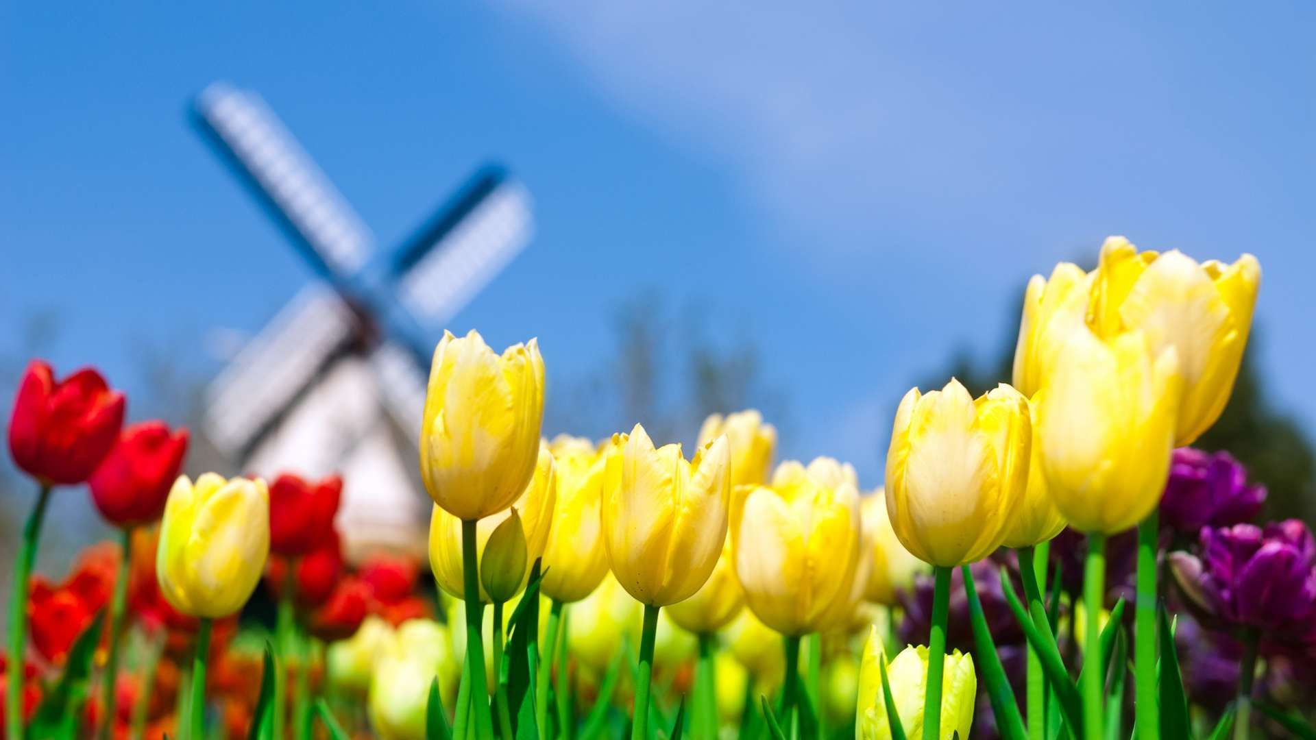 Tulips And Windmill Hd Wallpaper Spring Flowers Wallpaper Spring Flowers Background Flowers Nature