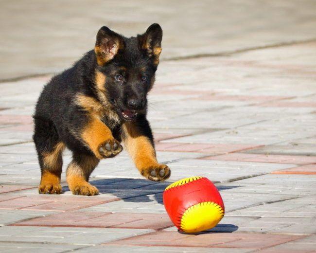 German Shepherd Puppies 53 Pictures Love Dogs Cute German