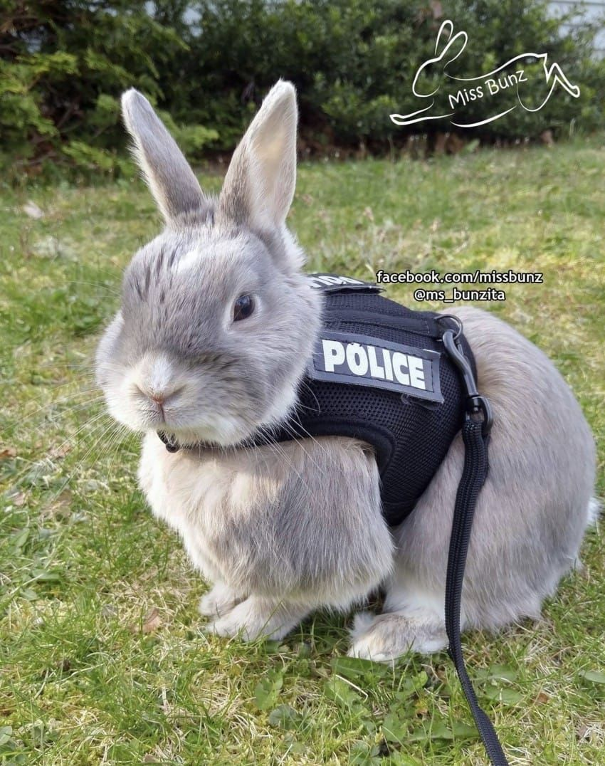 Rabbit Chewing Harness Wiring Diagram For Light Switch Miss Bunz The Adopted Bunny Wears A Protective Police Rh Pinterest Com Problems