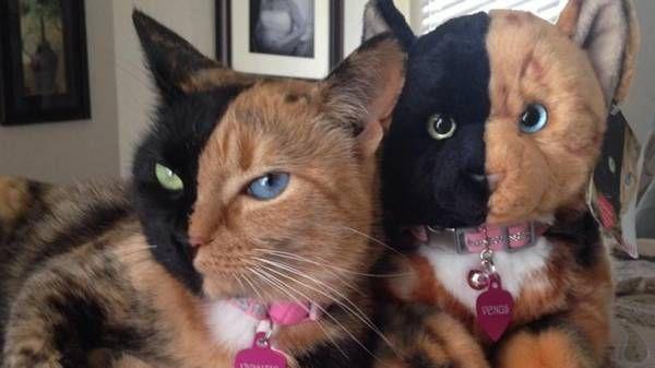 Foto & video - Venus, la gatta chimera