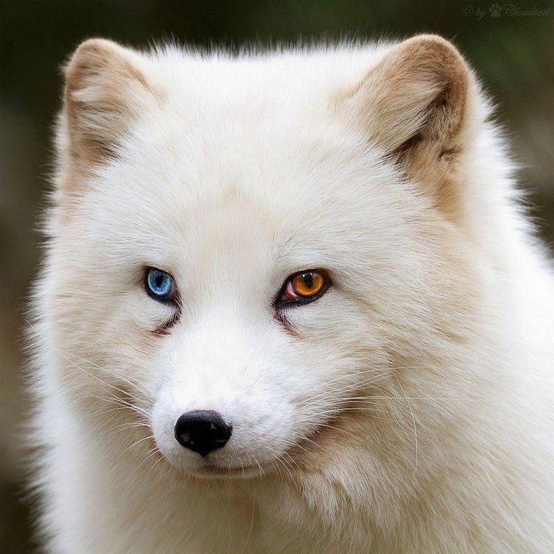 polar #fox