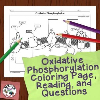 Cell Respiration Activity Oxidative Phosphorylation