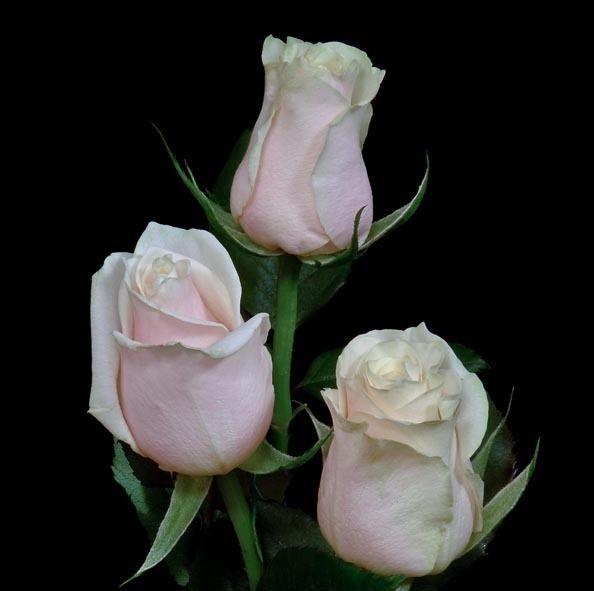 Flores Rosas Blancas Foto Tres Rosas Blancas 15 12 2010 17 29 24 Fotos De Funny_flowers.