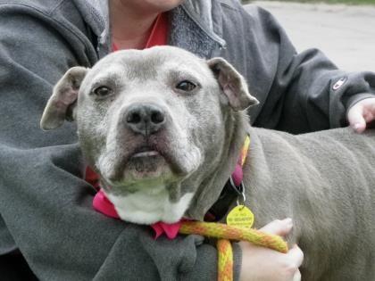 Petango Com Meet Clara Belle R 3 A 8 Years Terrier American