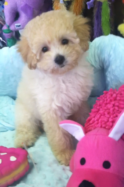 CavaPoo Breed Information (With images) Cavapoo puppies