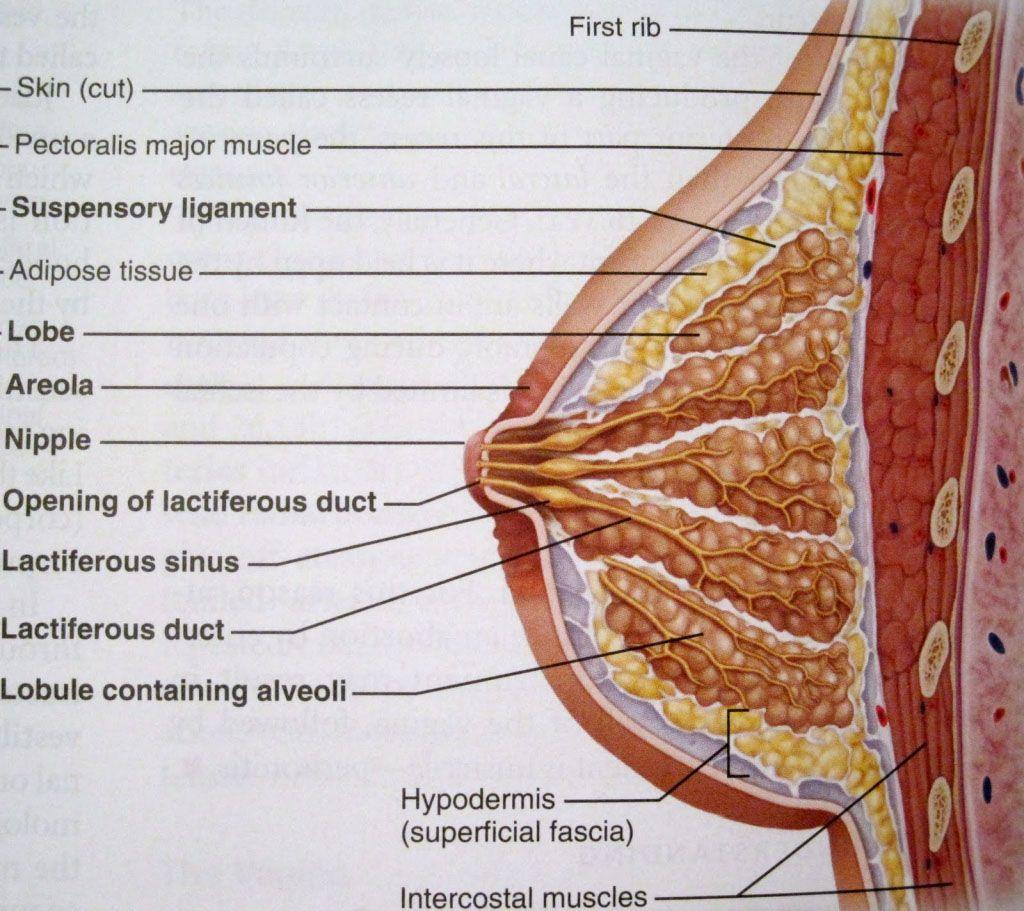 Mammary gland anatomy sectional view - www.anatomynote.com   Nursing ...