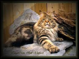 Image result for feline maine coon
