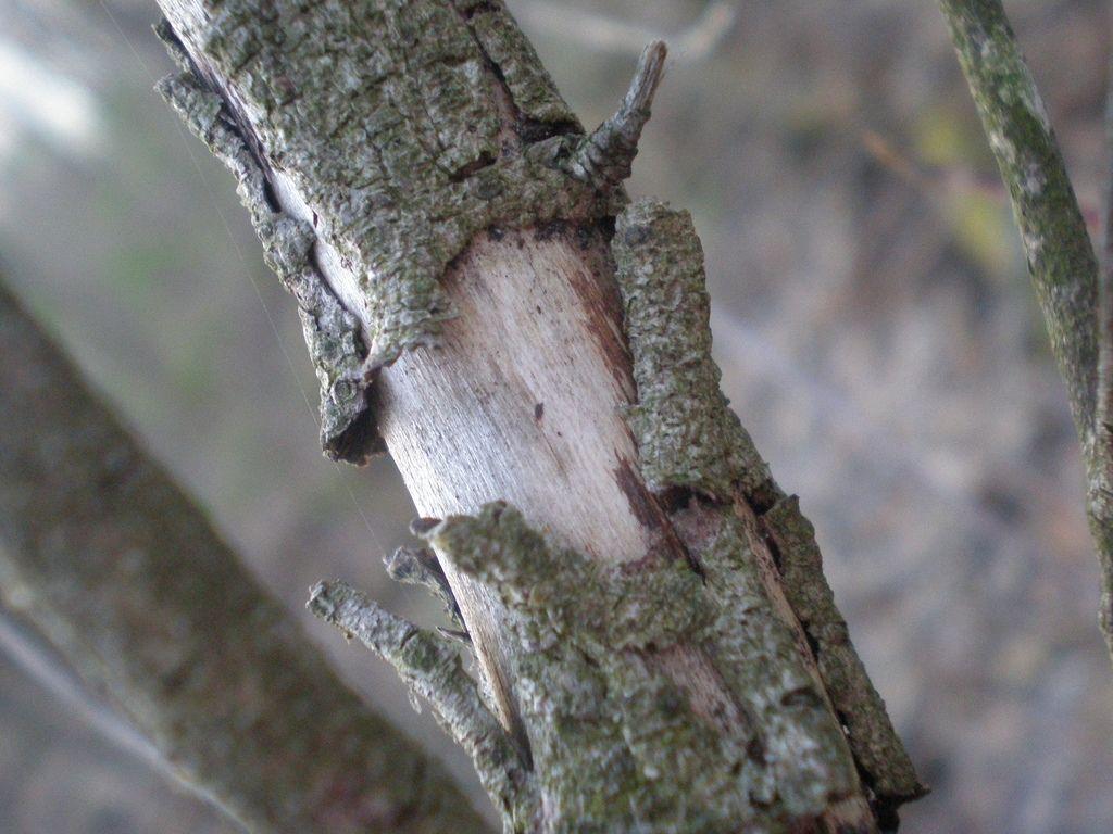 Peeling Tree Bark Why Is Bark Peeling Off My Tree Tree Bark Tree Ornamental Trees