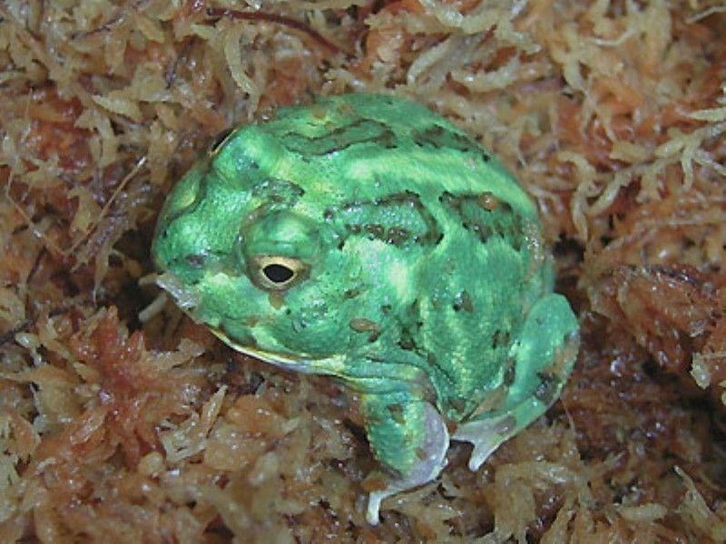 チャコガエル 爬虫類の基本的な知識と床材や餌など飼育方法 ツノガエル チャコ 床