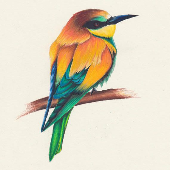 European Bee Eater Bee Eater Color Pencil Drawing Art